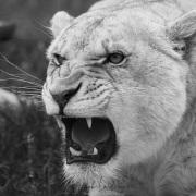 Lionne dans un centre de soin