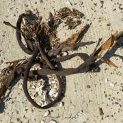Algues échouées sur la plage