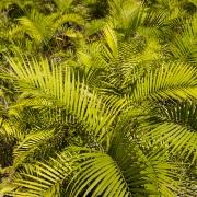 Forêt tropicale: palmiers