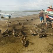 Pélican brun attendant les restes de poisson