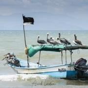 village de pêcheurs: Pélican gris