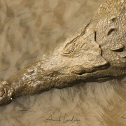 Crocodile américain