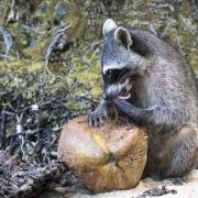 Raton laveur dégustant une noix de coco