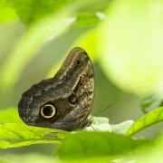 Caligo ou  papillon hiboux
