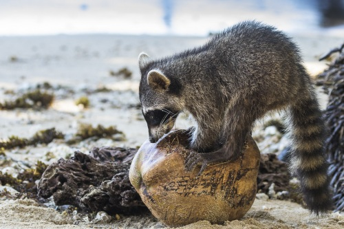 Raton laveur se régalant d'une noix de coco