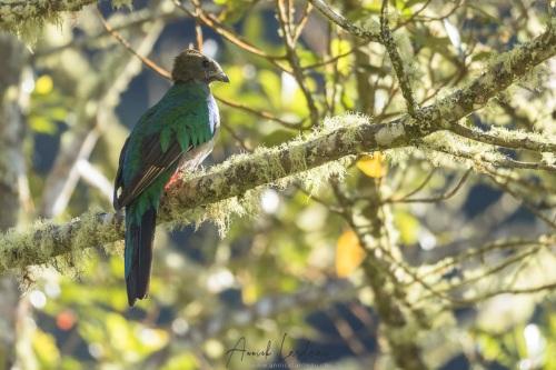 Quetzal: femelle