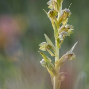 Orchis grenouille