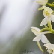 Platanthère blanche