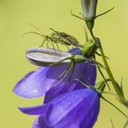 Insecte sur une campanule