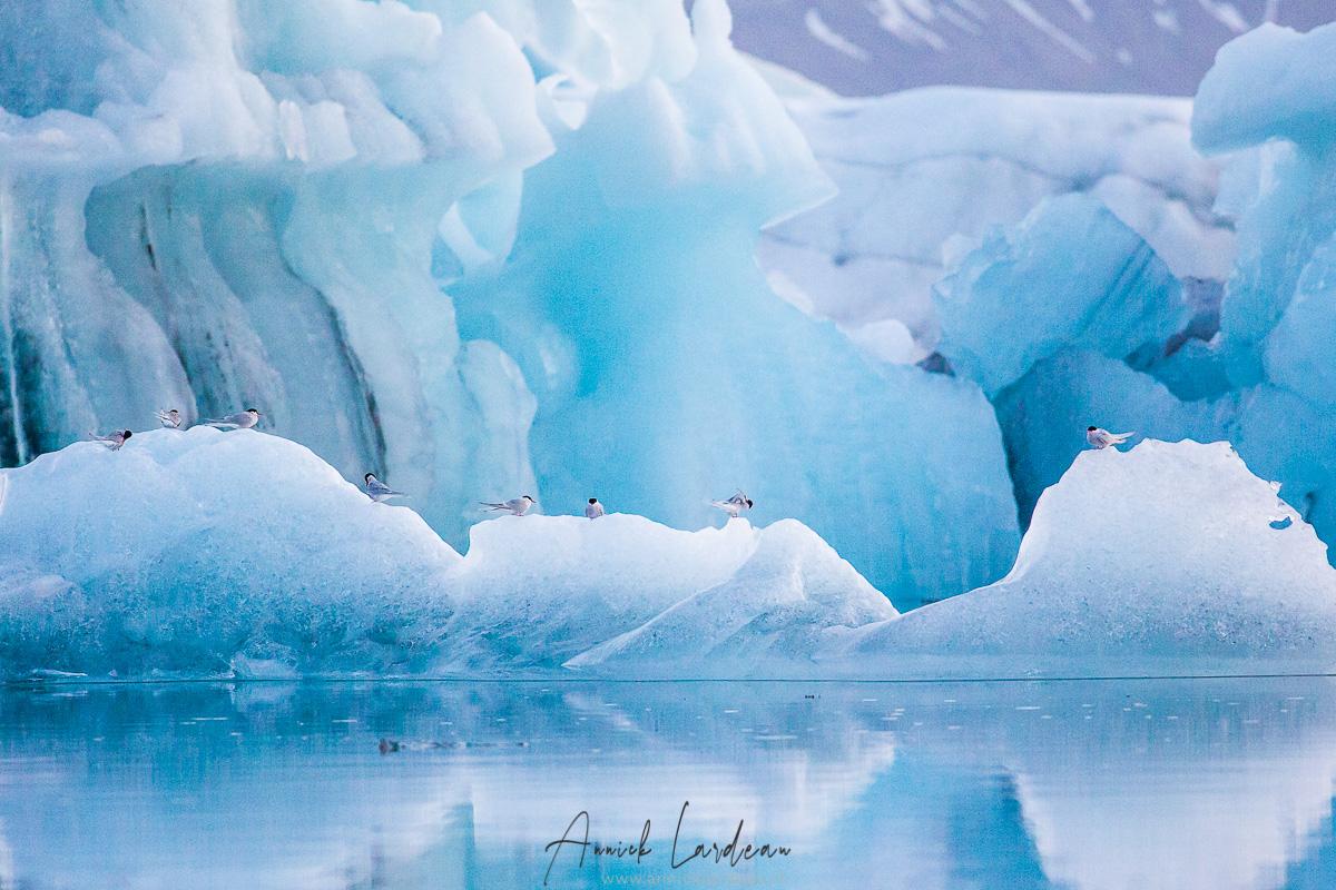 Sterne arctique et Icebergs dans la lagune, Jökulsárlón