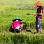 Travail dans la rizière