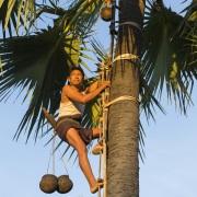 Pose de récipient sur le cocotier pour récupérer la sève sucrée