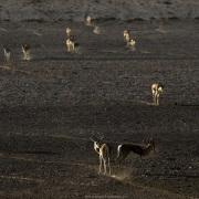 springbok venant s'abreuver