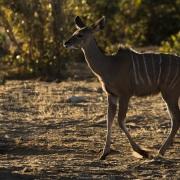 Grand kudu femelle