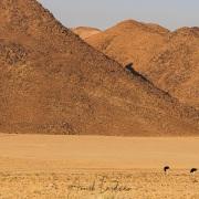 Oryx et autruches dans les dunes