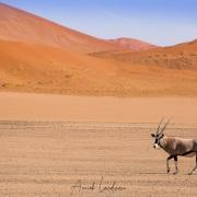Oryx dans les dunes