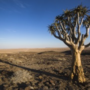 arbre à carquois