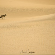 Chacal à chabraque dans les dunes