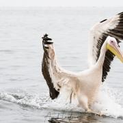 Amerrissage du pélican blanc