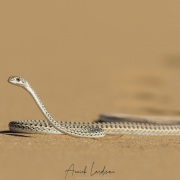 Serpent de Namibie