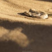 vipère de Péringuey s'ensablant: au final seuls les yeux sortent du sable afin de surveiller  le passage éventuel d'une proie