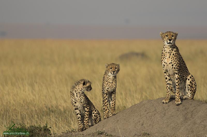 Guéparde et ses jeunes, Masaï Mara