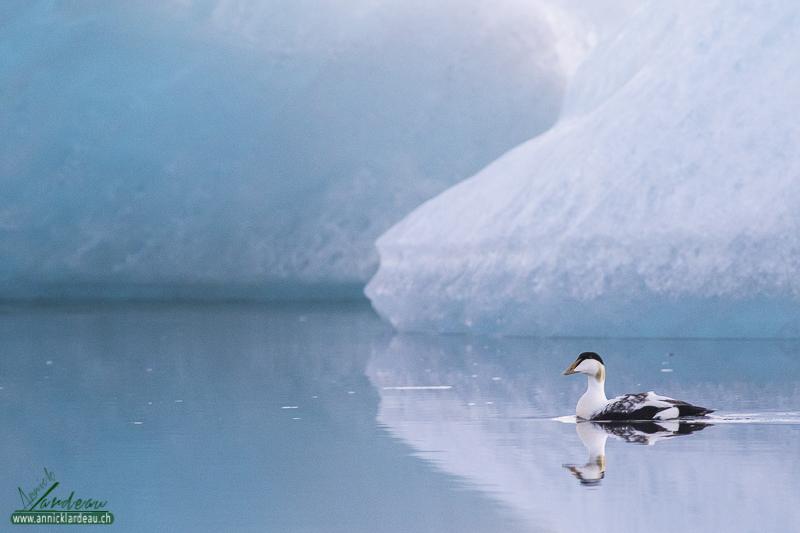 Eider parmi les icebergs, Jökulsárlón
