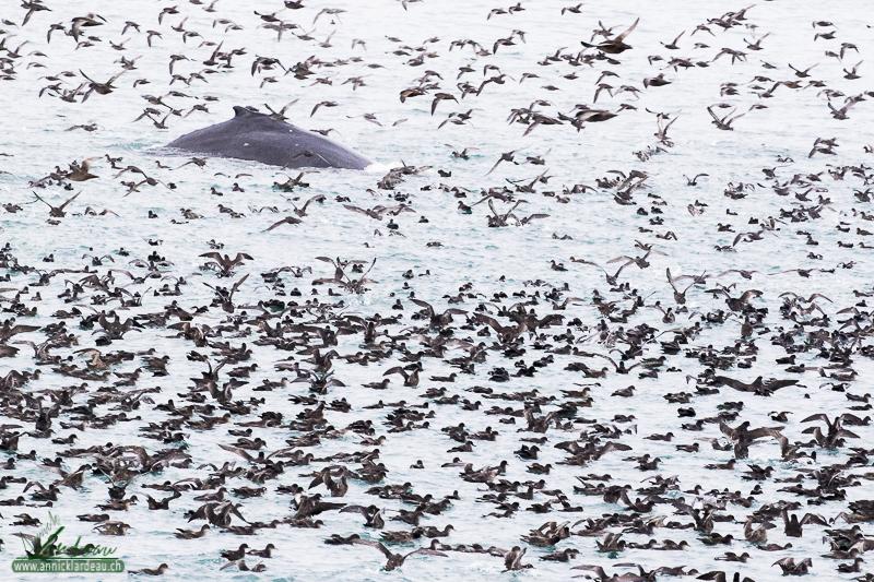 Puffin à bec grêle et baleine à bosse