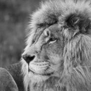 Lion dans un centre de soin