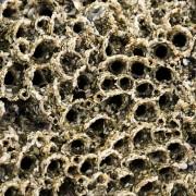 Récif construit par petit ver appelé hermelle (sabellaria alveolata)