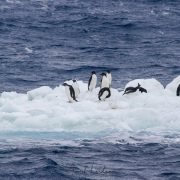 Manchot adélie sur iceberg