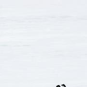 Manchot adélie