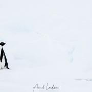 Manchot Adélie sur un iceberg