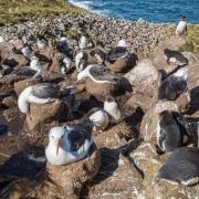 Colonie d'albatros à sourcils noirs et de gorfous sauteur