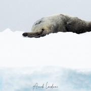 Phoque de Weddell sur et sous la neige