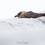 Labbe austral sur son nid