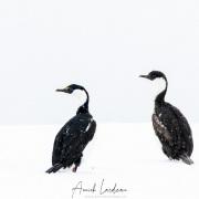 Cormorans antarctiques
