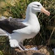 Albatros à sourcils noirs noir