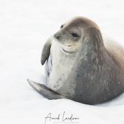 Phoque de Weddell