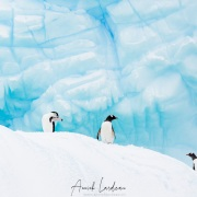 Manchots sur un iceberg