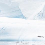Manchot papou sur un iceberg