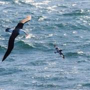 Albatros à sourcil noir  et Damier du cap
