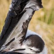 Jeune albatros hurleur prêt à l'envol