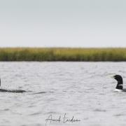 Plongeon à bec blanc, Baie de Kolyuchin - Tchoukotka