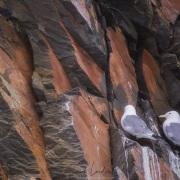 Mouettes tridactyles, ile de Wrangel