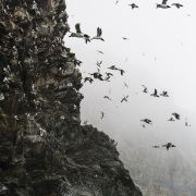 Ptichiy Bazar ou Bazar des oiseaux, ile de Wrangel