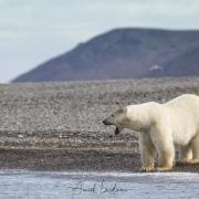 Ours polaire, ile de Wrangel