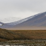 Harfang des neiges, ile de Wrangel