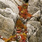 végétation sur une falaise, ile d'Hérald