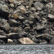 Ourse polaire et son ourson, Ile d'Hérald